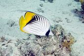 threadfin butterflyfish (chaetodon