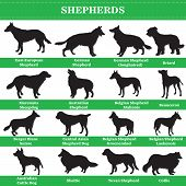 Set Of 20 Shepherds Dogs. Vector Set Of Shepherds Breeds Dogs Standing In Profile. Isolated Dogs Bre poster