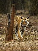 Young Tigress, Telia Sisters, Panthera Tigris, Tadoba, Maharashtra State Of India poster