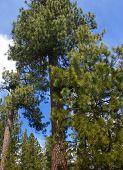 Panorama, Ponderosa Pines And Blue Sky