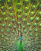 Amazing beauty of a peacocks feather tail, beautiful colorful bird, abstract natural background, be poster