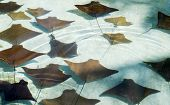 Close-up Photo Of Many Young Sting Rays In The Bright Sunlight Of The Bahamas. poster