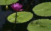 Vibrant Water Lily