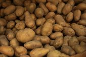 stock photo of potato-field  - A lot of potatos form up a background.