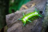 Stinging Slug Caterpillar In Taman Negara National Park, Malaysia poster