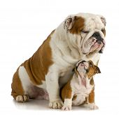 big and small dog - english bulldog father sitting with 8 week old puppy on white background