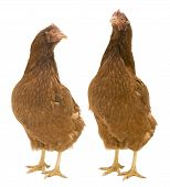 Two Isolated Chickens