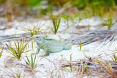 Rock iguana in a natural environments at Little Water Cay in Turks and Caicos