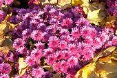 Chrysanthemum Flower Background