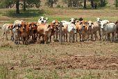 Brahman Kuh Herde auf der Ranch mit Vordergrund Exemplar