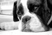 Sad Boxer Dog