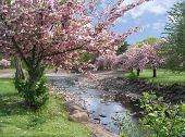 stock photo of cherry-blossom  - cherry blossoms in the park on a sunny day with a river running through - JPG
