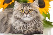 stock photo of thoroughbred  - portrait of beautiful Persian cat lying with sunflowers on white background - JPG