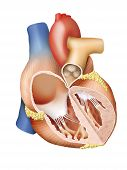 stock photo of pacemaker  - Detailed illustration of a human heart - JPG