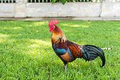 pic of fighting-rooster  - A Large Thai standing still looking for a fight taken outdoor - JPG