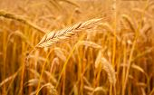 Golden Barley Ears Background