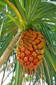 Ripe Pandanus Fruit