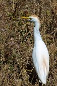 picture of cattle breeding  - Cattle Egret with breeding plumage against a yellow background of dried grasses - JPG