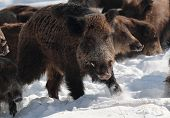 Male wild boar in the snow