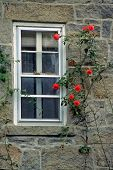 pic of climbing rose  - Red climbing rose growing up beside a window on the granite wall of an old house - JPG
