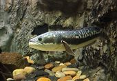 stock photo of snakehead  - fish Great snakehead - JPG