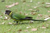 stock photo of ringneck  - Australian Ringneck  - JPG