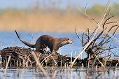 Flußotter sitzt auf einem nassen Baumstamm (Lutra Lutra)