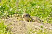 prairie dog peeking out of its hole in the ground