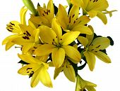 Yellow Day Lilies poster