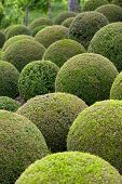 Boxwood - Green garden balls in Loire Valley. France