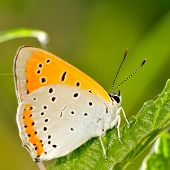 butterfly in natural habitat (lycaena dispar)