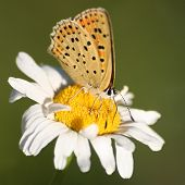 The Purple-shot Copper Butterfly On Mayweed
