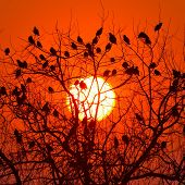 flock of starlings sitting in the tree at sunset