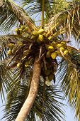 image of naturist  - Zoomed shot of Tropical Coconut Tree top - JPG