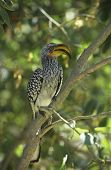 Southern Yellow-billed Hornbill in tree