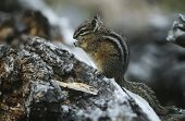 Chipmunk standing on hind legs on rock side view