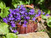 image of lobelia  - basket of blue lobelias flowers in summer garden - JPG