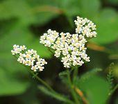 Yarrow Flowers Closeup