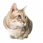 Cute tabby cat with curious expression, full length portrait isolated on white background.