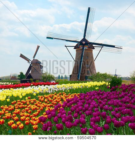 Two dutch windmills over rows of tulips field , Netherlands, two dutch windmills over rows of tulips field , Netherlands