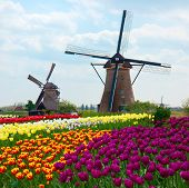 foto of windmills  - two dutch windmills over rows of tulips field  - JPG