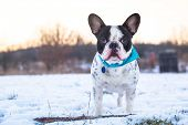 French bulldog on the walk in winter scenery