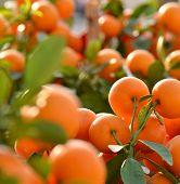 pic of tangerine-tree  - Tangerine tree - JPG