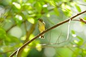 Female Yellow-rumped Flycatcher