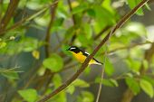 Male Yellow-rumped Flycatcher