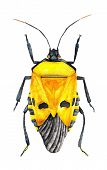 Yellow Bug
