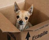 image of chihuahua mix  - a tiny chihuahua in a box marked fragile - JPG