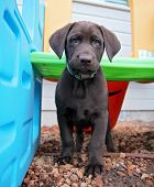 stock photo of chocolate lab  - a cute chocolate lab puppy in a play house - JPG