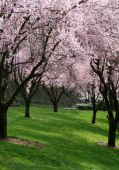 image of cherry blossom  - Spring blossoms cover the trees and create a pink canopy - JPG