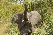 African Elephant (loxodonta Africana)  South Africa